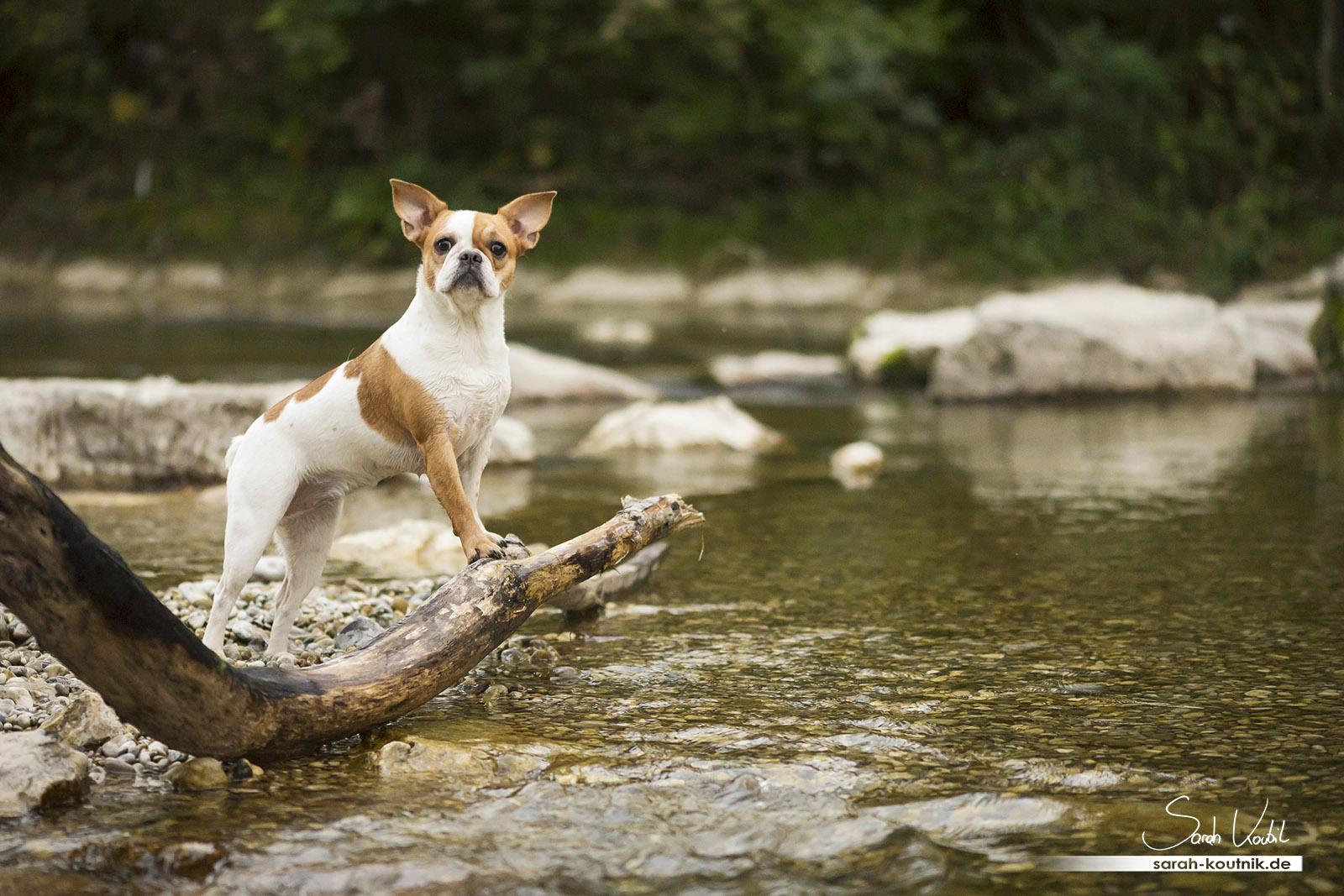 Fotoshooting mit französischer Bulldogge Penny | Hundefotografie München | Sarah Koutnik Fotografie | Penny und Pacco