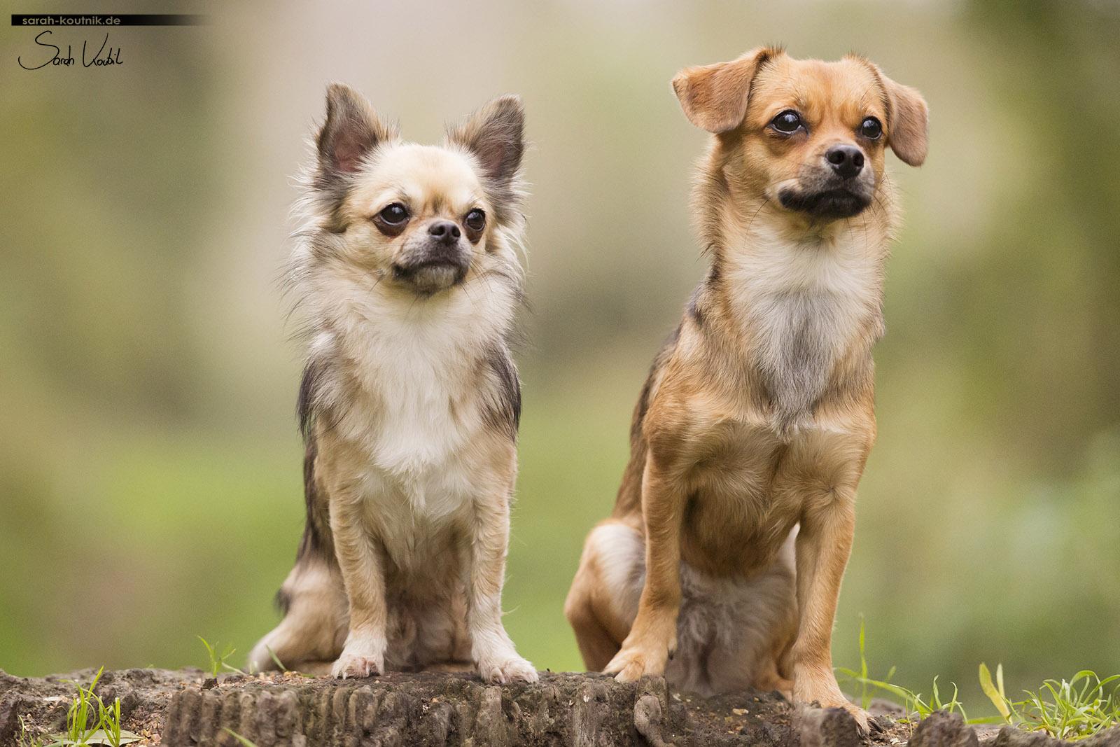 Portrait von Chihuahua Gismo und Mischling Noél | Hundefotografie München | Sarah Koutnik Fotografie