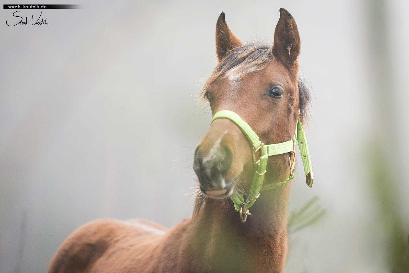 braune Araberstute   Fohlen   Pferdefotografie München