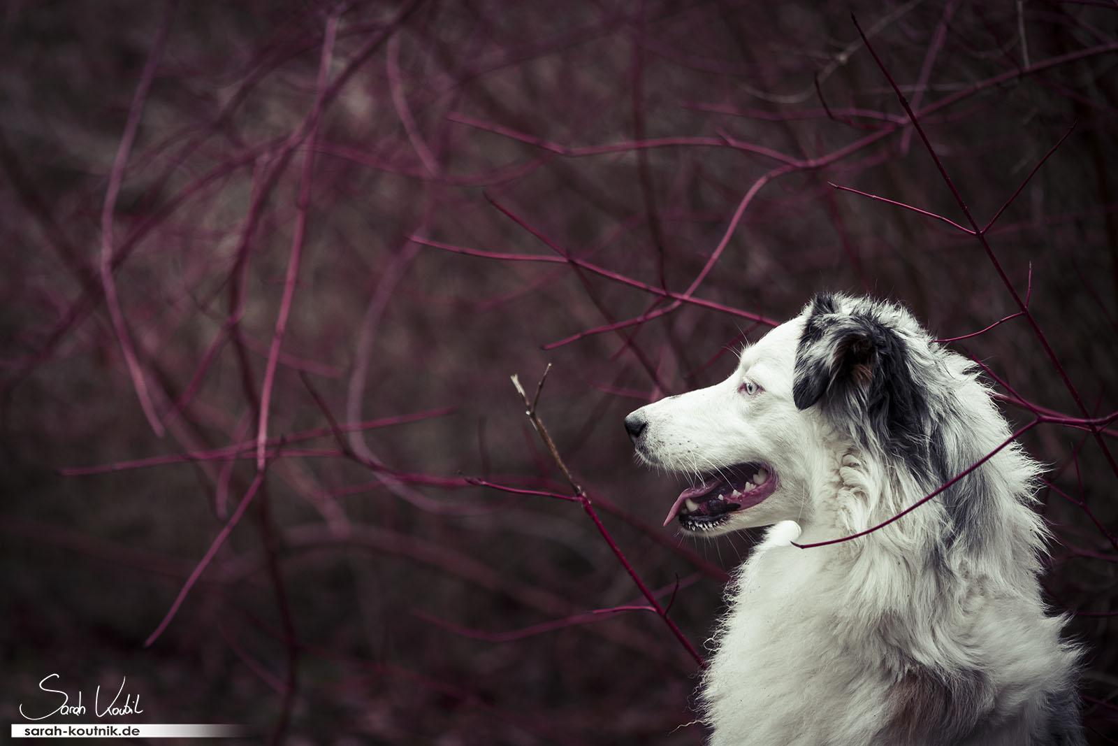 Experimentelles Hunde Fotoshooting mit Australian Shepherd Hündin Maya | Hundefotografie München