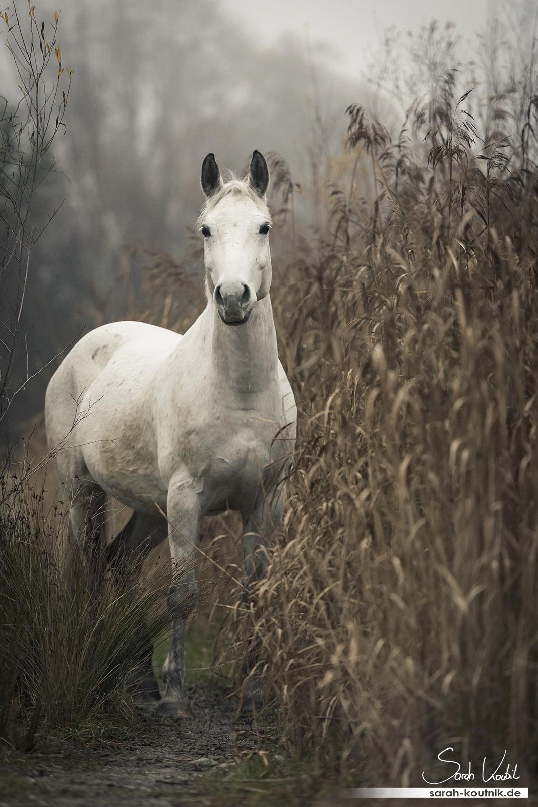 Schimmel Wallach Finn im Nebel | Pferdefotografie München | Portfolio Pferdefotoshooting