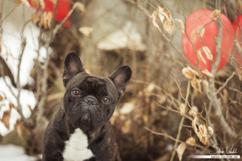 Französische Bulldogge Elvis beim Hundefotoshooting | Hundefotografie München