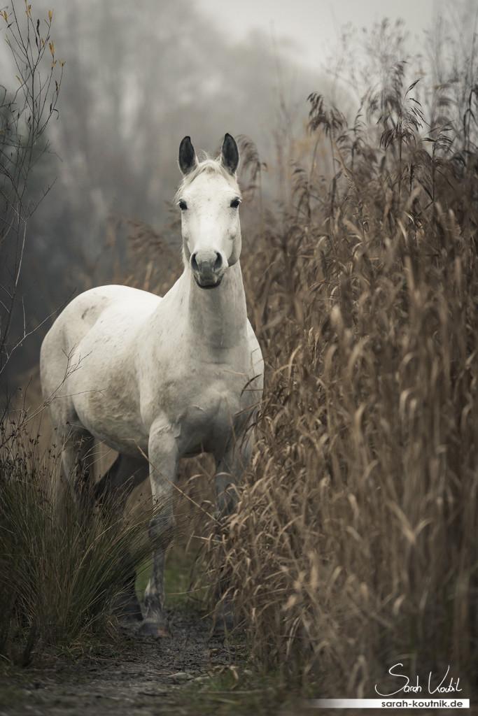 Schimmel Finn beim Pferdefotoshooting im Nebel | Pferdefotografie München