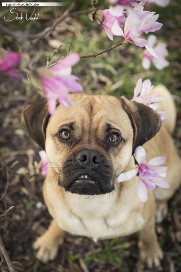 Puggle Cooper zwischen Magnolien | Lesehund | Hundefotografie München