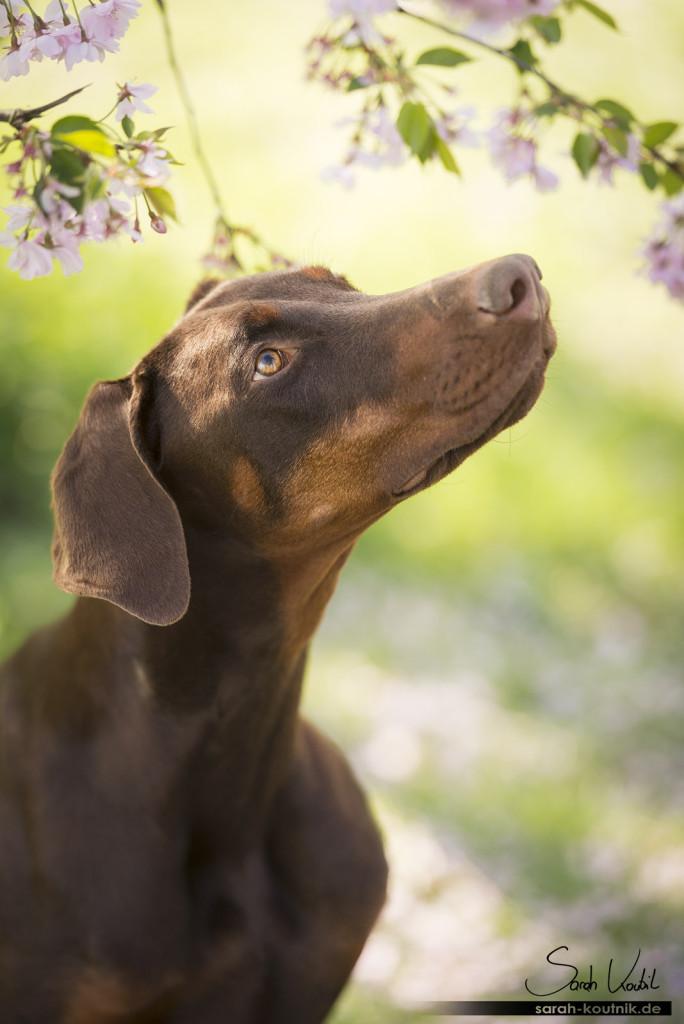 braune Dobermann Hündin Bounty vor Kirschblüten | Hundefotografie München