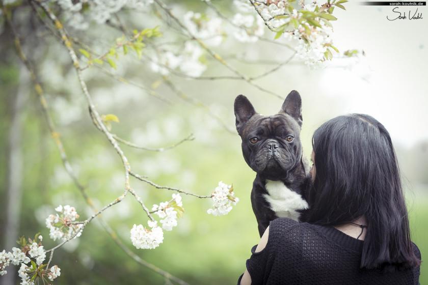 Französische Bulldogge Elvis beim Hundefotoshooting vor Kirschblüten | Hundefotografie München