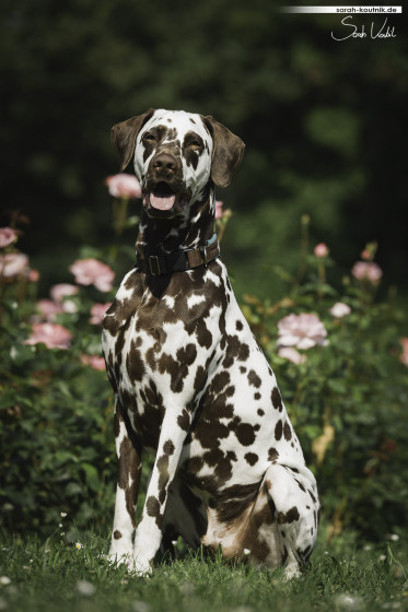 brauner Dalmatiner Bentley, Portrait vor rosa Rosen | Hundefotografie München