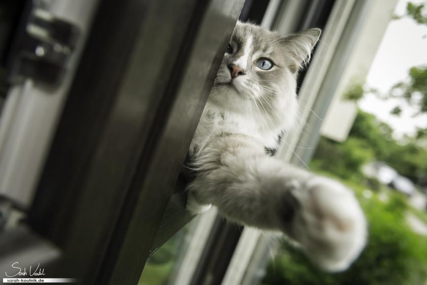 Birma Kater Mikey angelt nach der Kamera | Katzenfotografie München