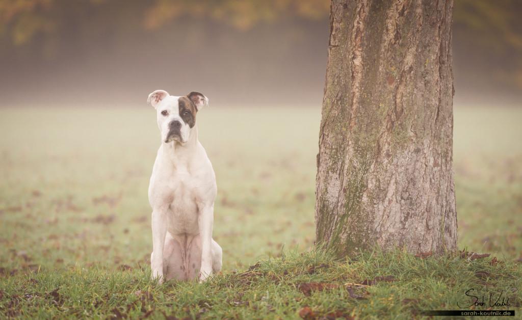 Boxerhündin Sue sitzt im Morgennebel | Hundefotografie München | Wann fotografierst du am Liebsten?