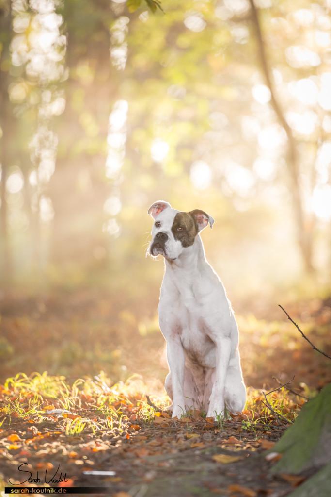 Boxerhündin Sue im Morgenlicht | Hundefotografie München | Wann fotografierst du am Liebsten?