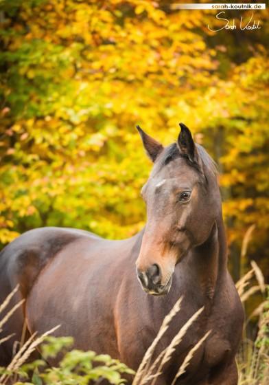 Conrose Portrait vor Herbstlaub | Sarah Koutnik Fotografie | Pferdefotografie München