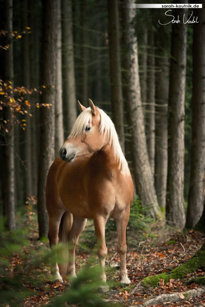 Haflinger Nailah im herbstlichen Wald | Pferdefotografie München | Ich fotografiere Pferde