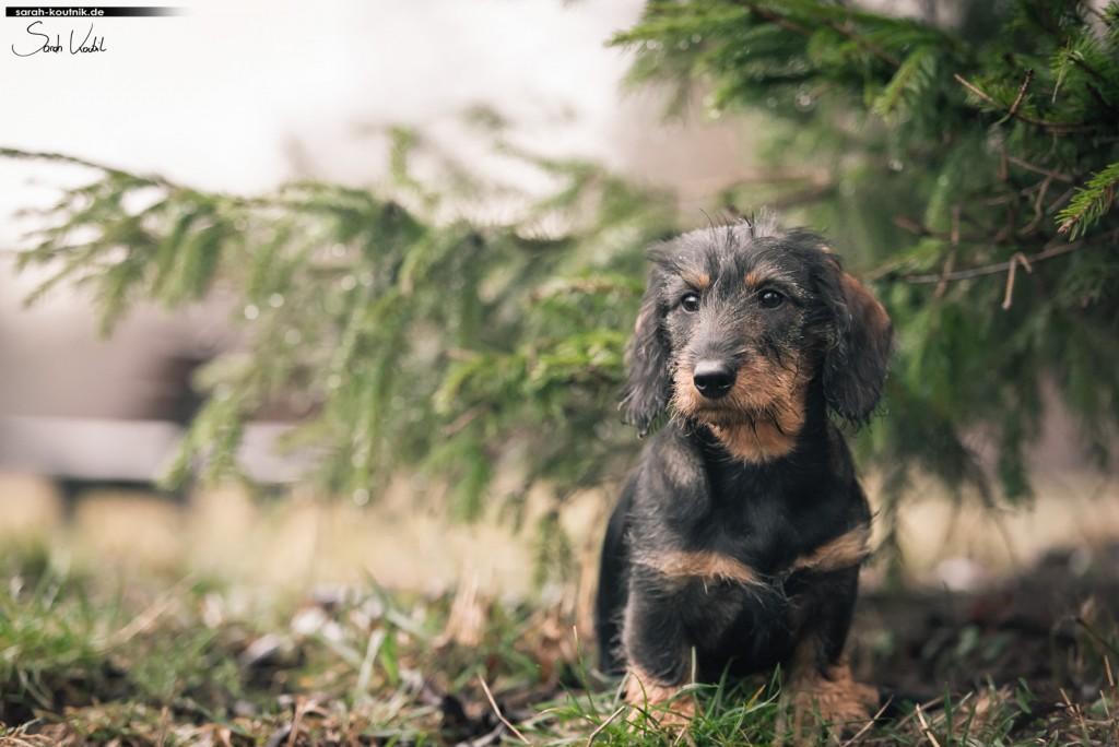 Dackel Käthe | Hundefotografie München | Gewinnspiel Fotoshooting | Sarah Koutnik Fotografie