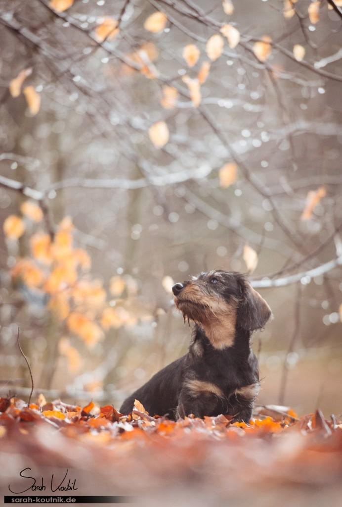 Dackelwelpe Käthe | Hundefotografie München | Gewinnspiel Fotoshooting | Sarah Koutnik Fotografie