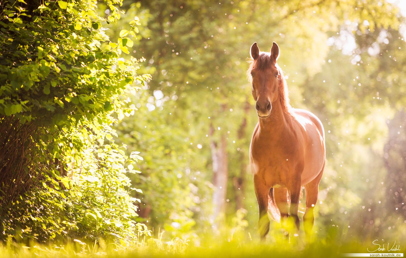 PRE im Abendlicht   Pferdefotografie München   Pferdefotograf