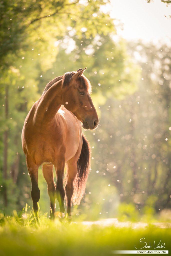 PRE im Abendlicht | Pferdefotografie München