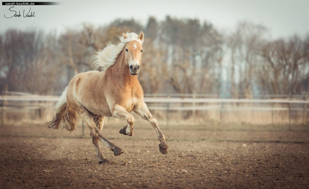 Pferdefotoshooting | Haflingerwallach im Galopp | Sarah Koutnik Fotografie München