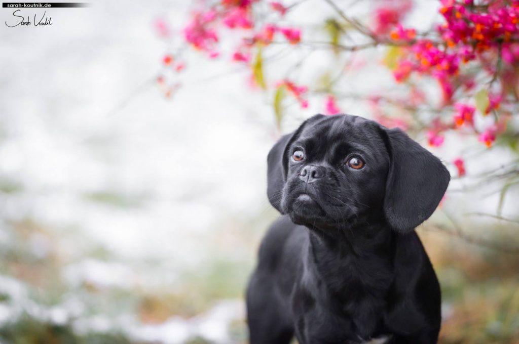 Puggle Penny | Hundefotoshooting Winter | Portrait | Hundefotografie München