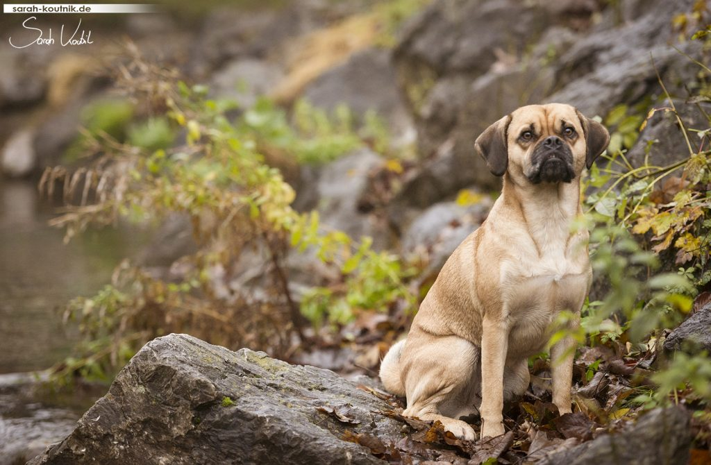 Puggle Cooper | Lesehund | Hundefotoshooting Winter | Portrait | Hundefotografie München