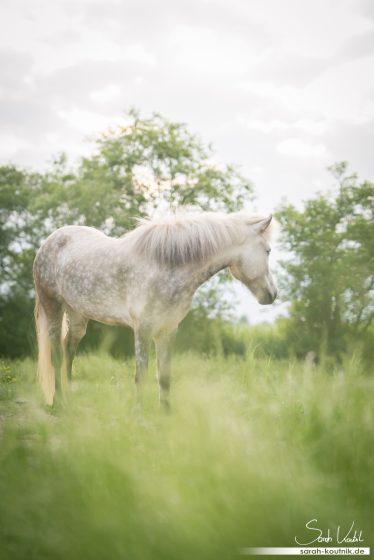 Isländer Stute Snerpa | Pferdefotoshooting | Sarah Koutnik Fotografie | Pferdefotografie München