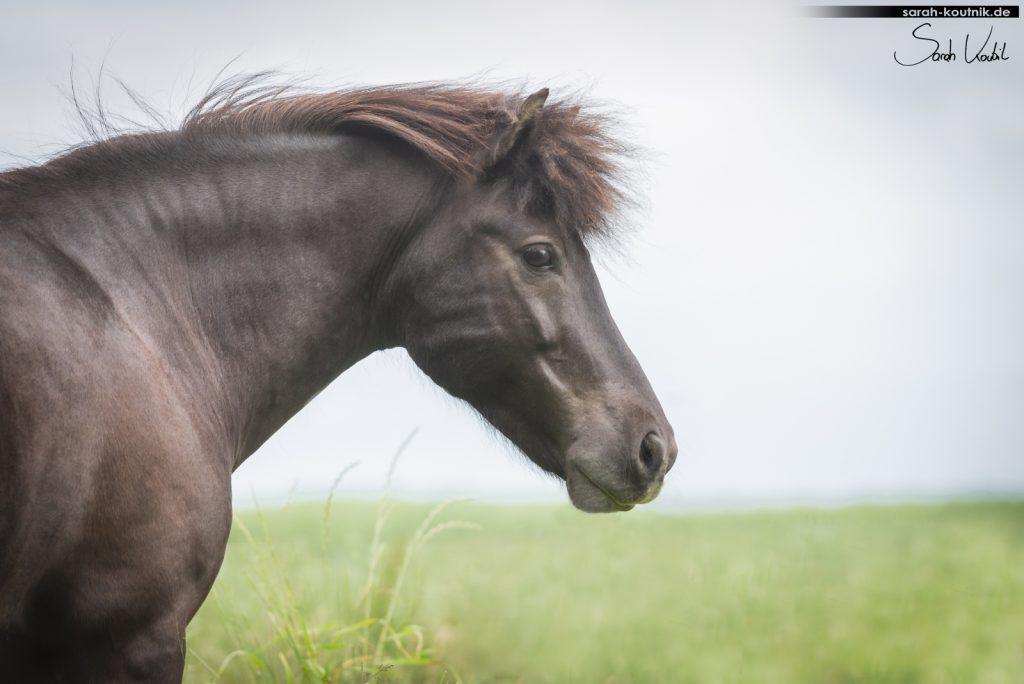 Islandpferd Wallach Fjosi | Pferdefotoshooting | Sarah Koutnik Fotografie | Pferdefotografie München