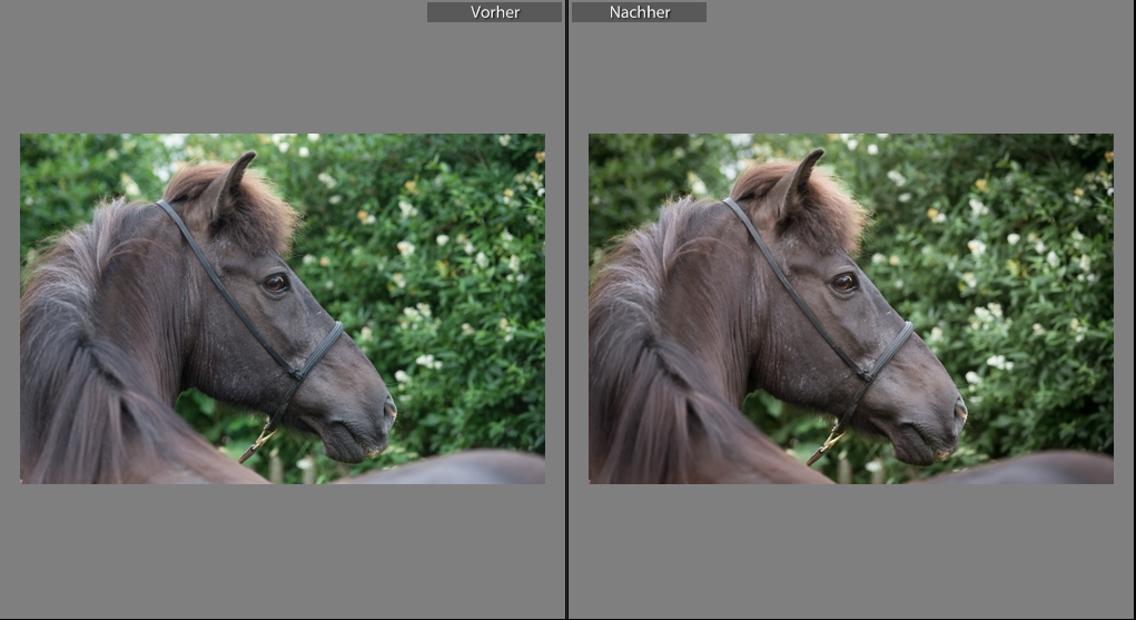 Kjarkur | Sarah Koutnik Fotografie | Workflow | Pferdefotoshooting | Lightroom | vorher nachher