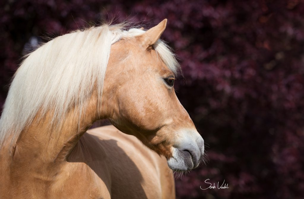 Haflingerwallach Samos | rote Hecke | Therapiepferd | Pferdefotografie | Sarah Koutnik Fotografie | München | weniger ist mehr