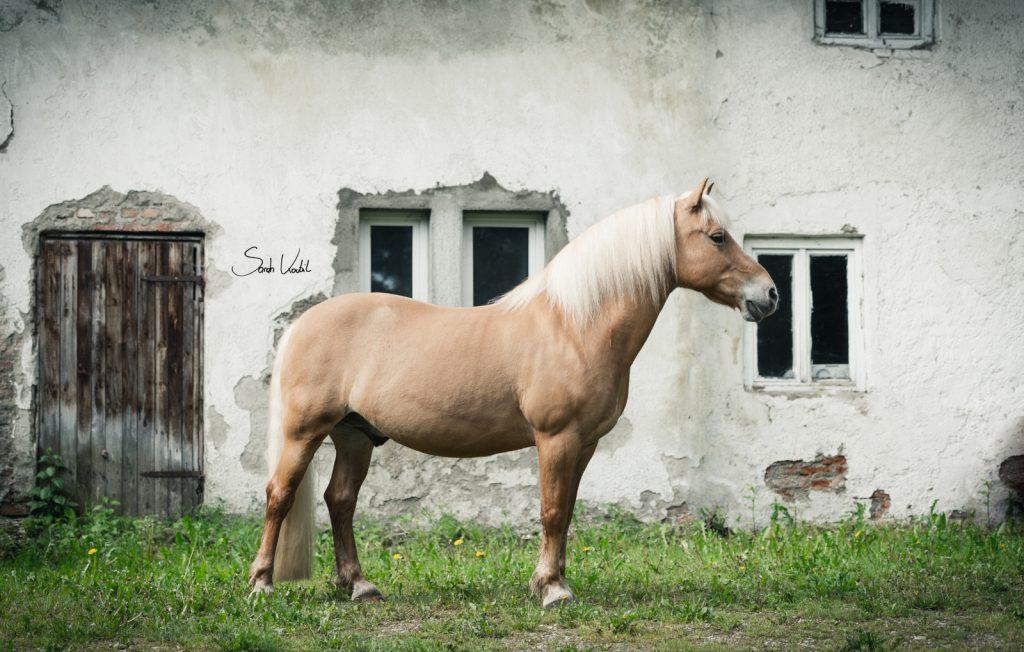 Haflingerwallach Samos | altes Bauernhaus | Therapiepferd | Pferdefotografie | Sarah Koutnik Fotografie | München