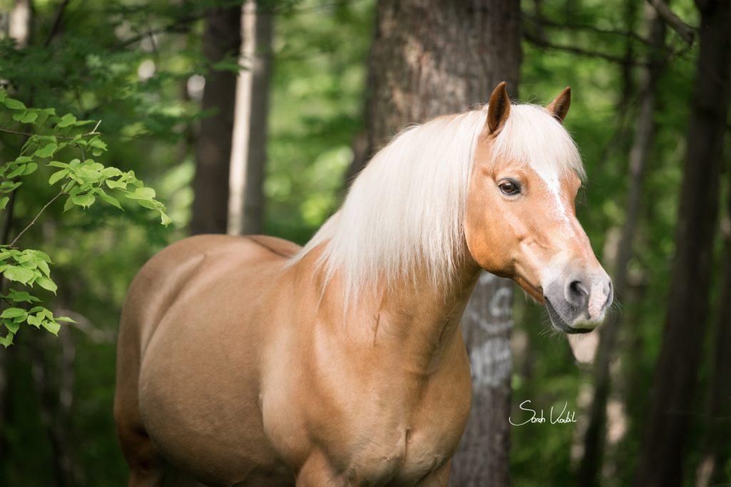 Haflingerwallach Samos | im Wald | Therapiepferd | Pferdefotografie | Sarah Koutnik Fotografie | München