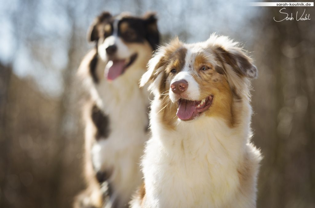 Australian Shepherds Djuna und Yoki | Hundefotografie München | Sarah Koutnik Fotografie | Jahresrückblick 2017
