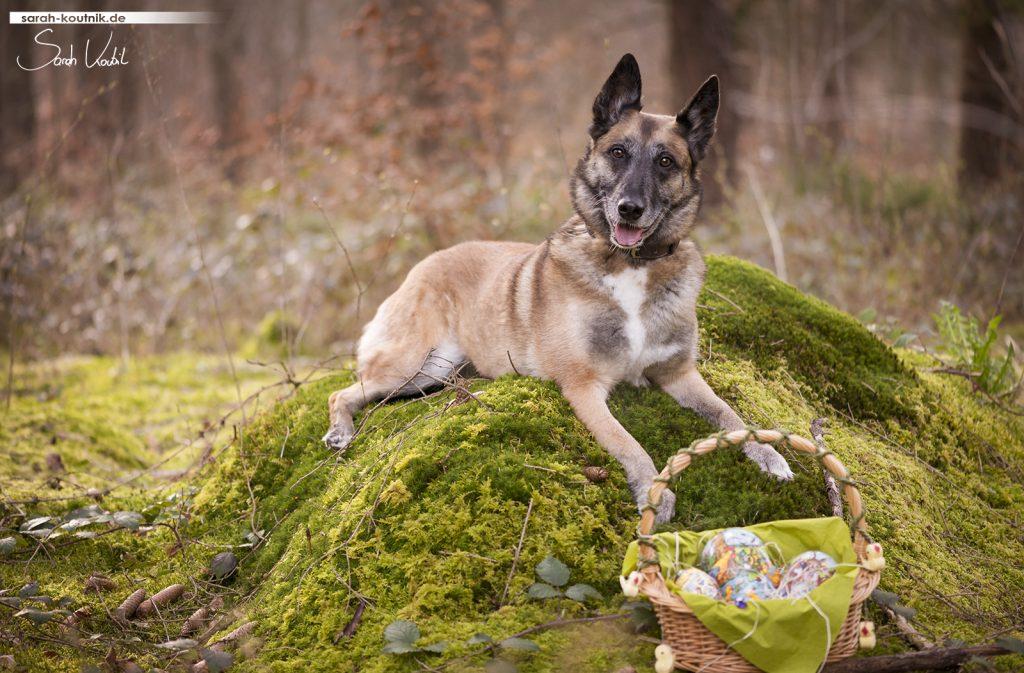 Malinois Hexe beim Ostershooting | Hundefotografie München | Sarah Koutnik Fotografie | Jahresrückblick 2017