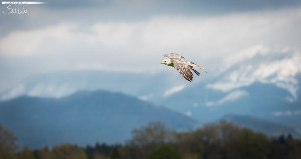 Falke vor Bergpanorama | Sarah Koutnik Fotografie | Jahresrückblick 2017