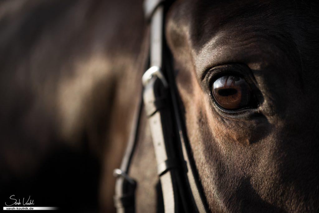 Warmblut Paulchen | Pferdefotografie | Sarah Koutnik Fotografie | Augenbild