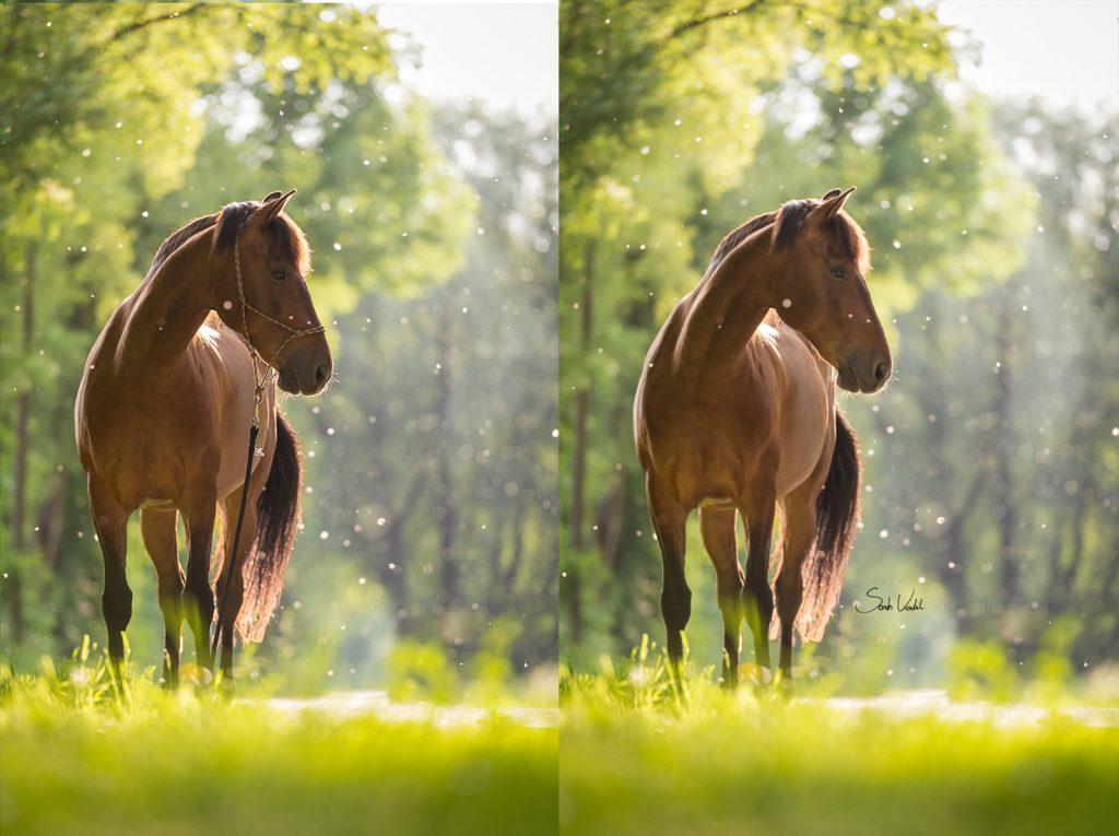 Sarah Koutnik Fotografie | Pferdefotografie München | Tipps und Tricks | Workflow Sommerschnee | Vergleich Lightroom Photoshop