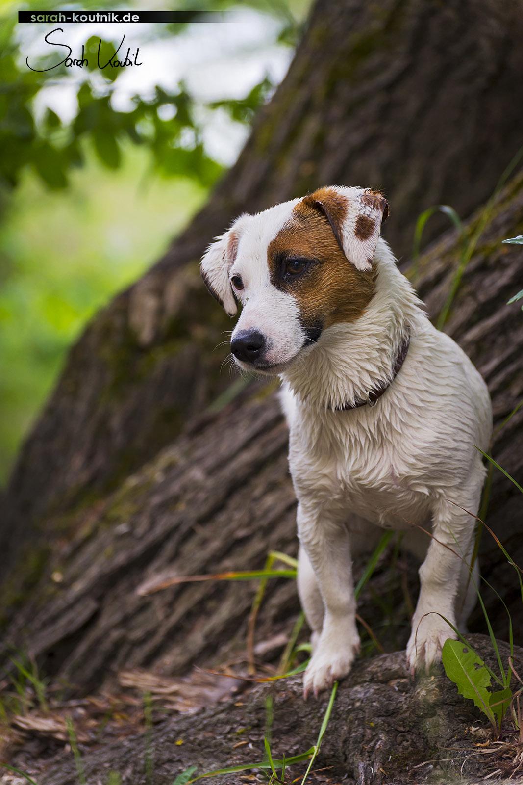 Sarah Koutnik Fotografie | Hundefotografie München | Jack Russel Pina