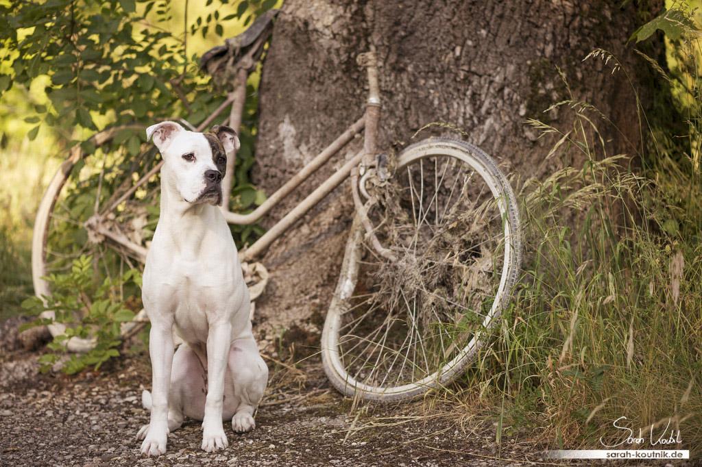 Sarah Koutnik Fotografie | Hundefotografie München | Boxer Sue | Erinnerungen
