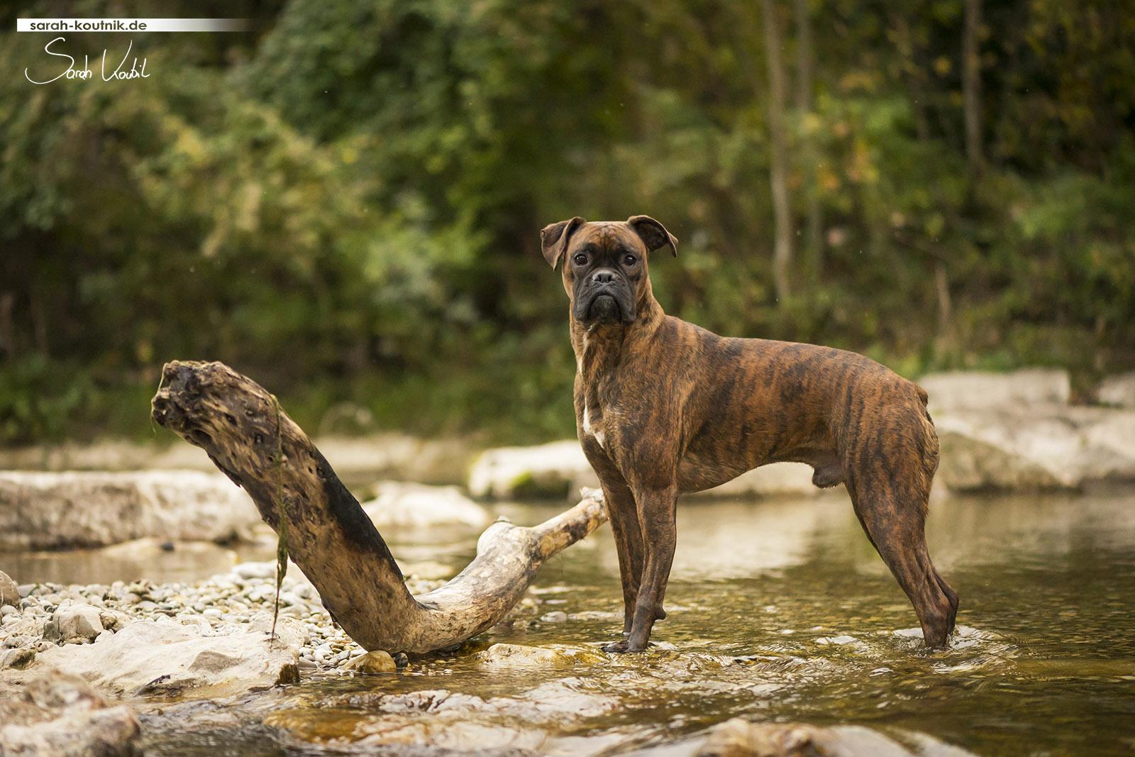 Fotoshooting mit Boxer Pacco | Hundefotografie München | Sarah Koutnik Fotografie | Penny und Pacco