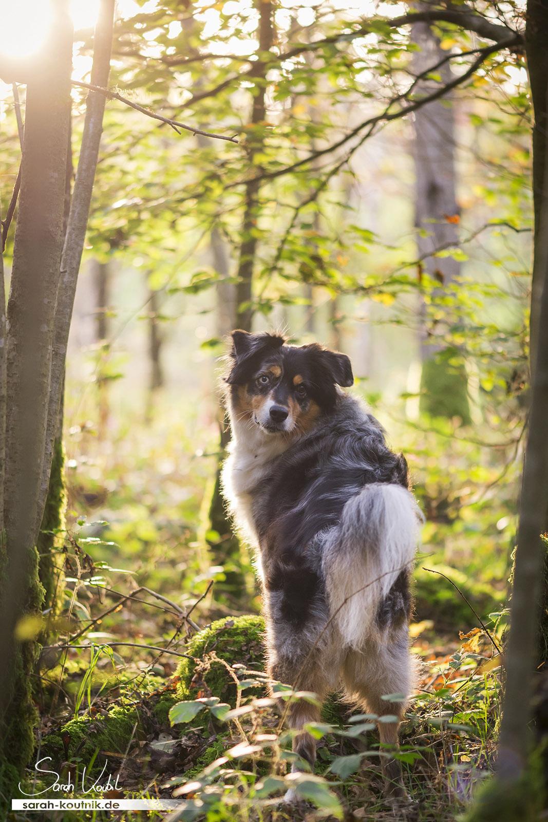 Hundefotoshooting mit Australian Shepherd Toffee im Herbst   Hundefotografie München