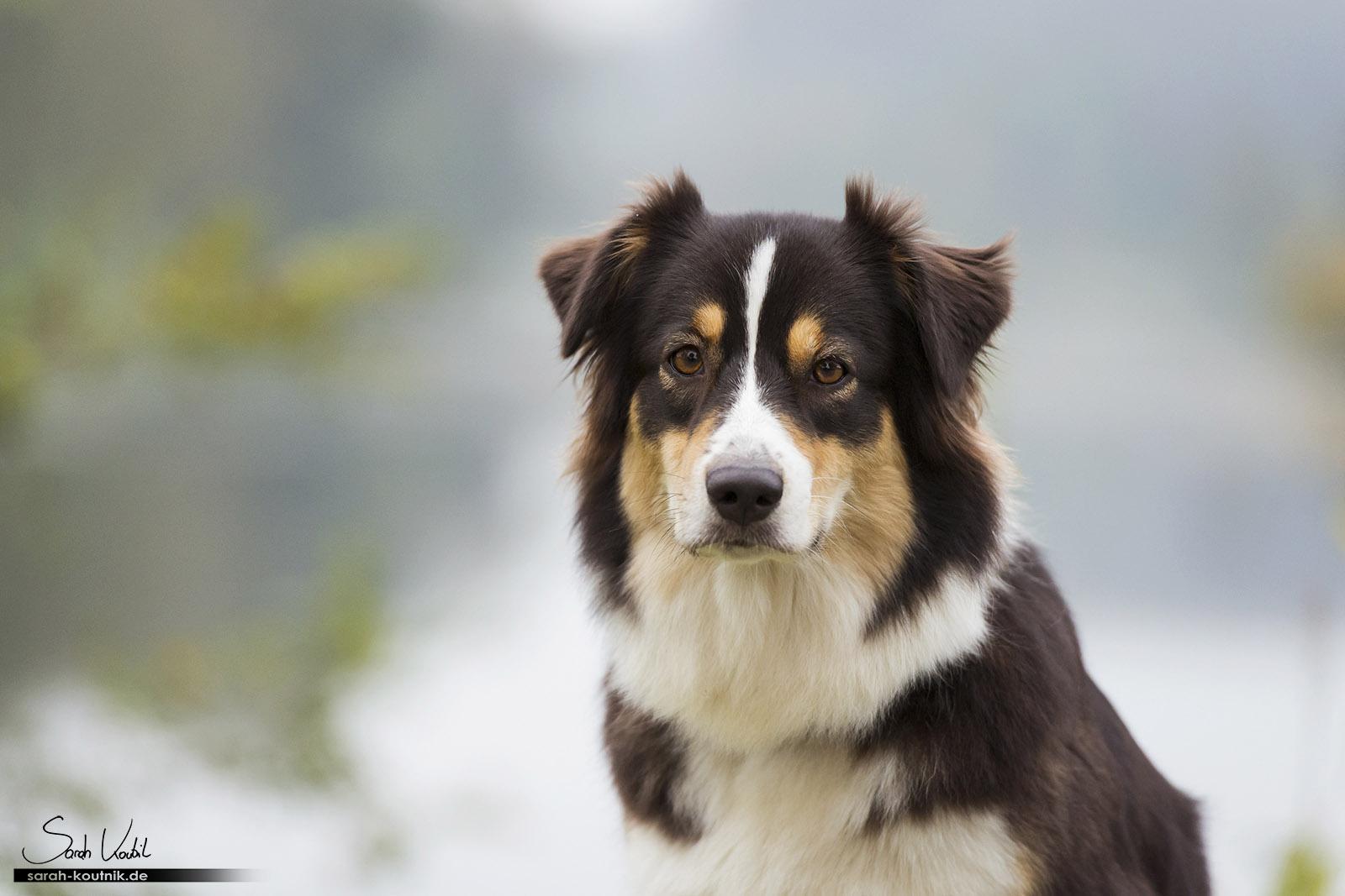 Portrait von Australian Shepherd Hündin Yoki   Sarah Koutnik Fotografie   Hundefotografie München
