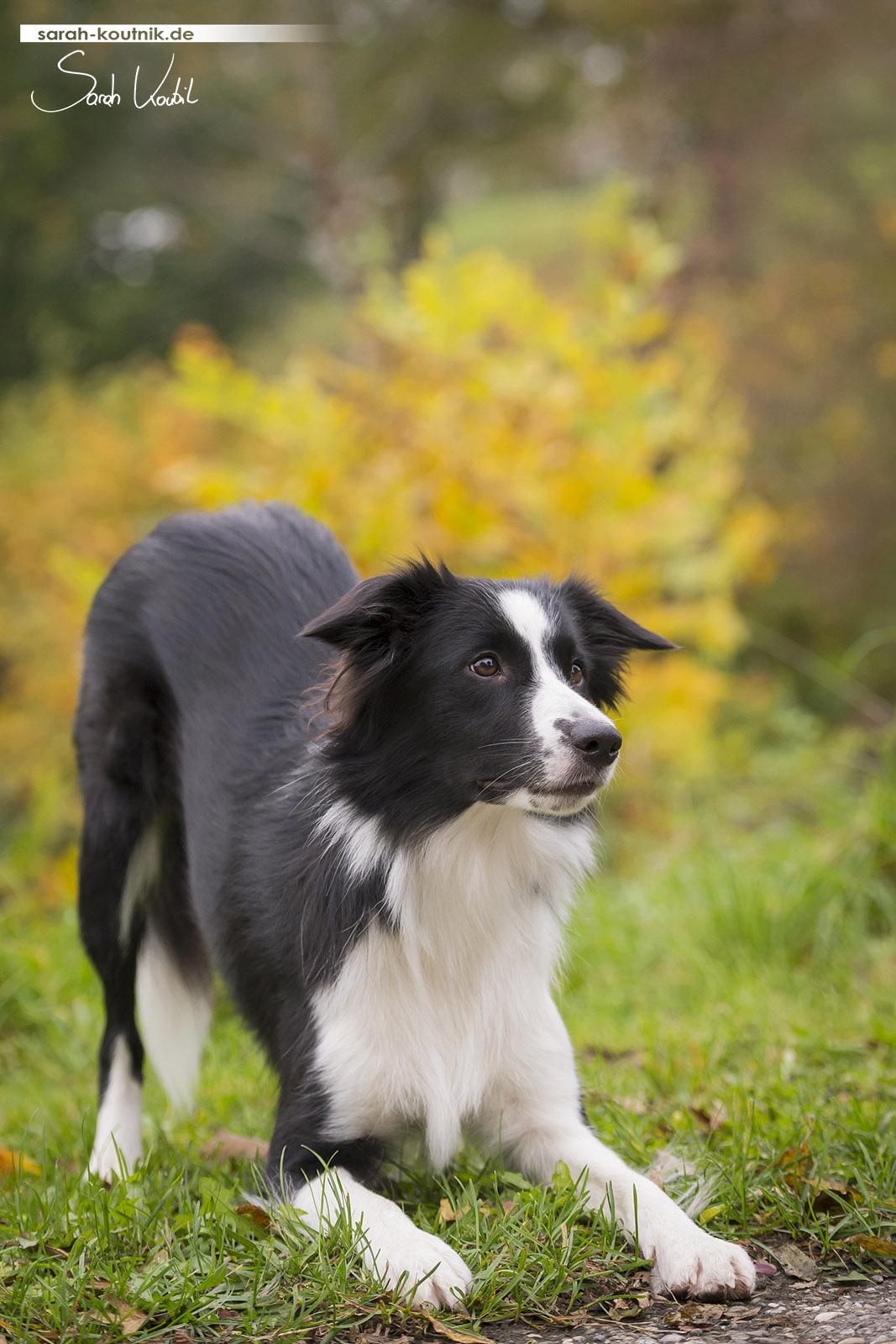 Border Collie Fame beim Fotoshooting im Herbst   Hundefotografie München
