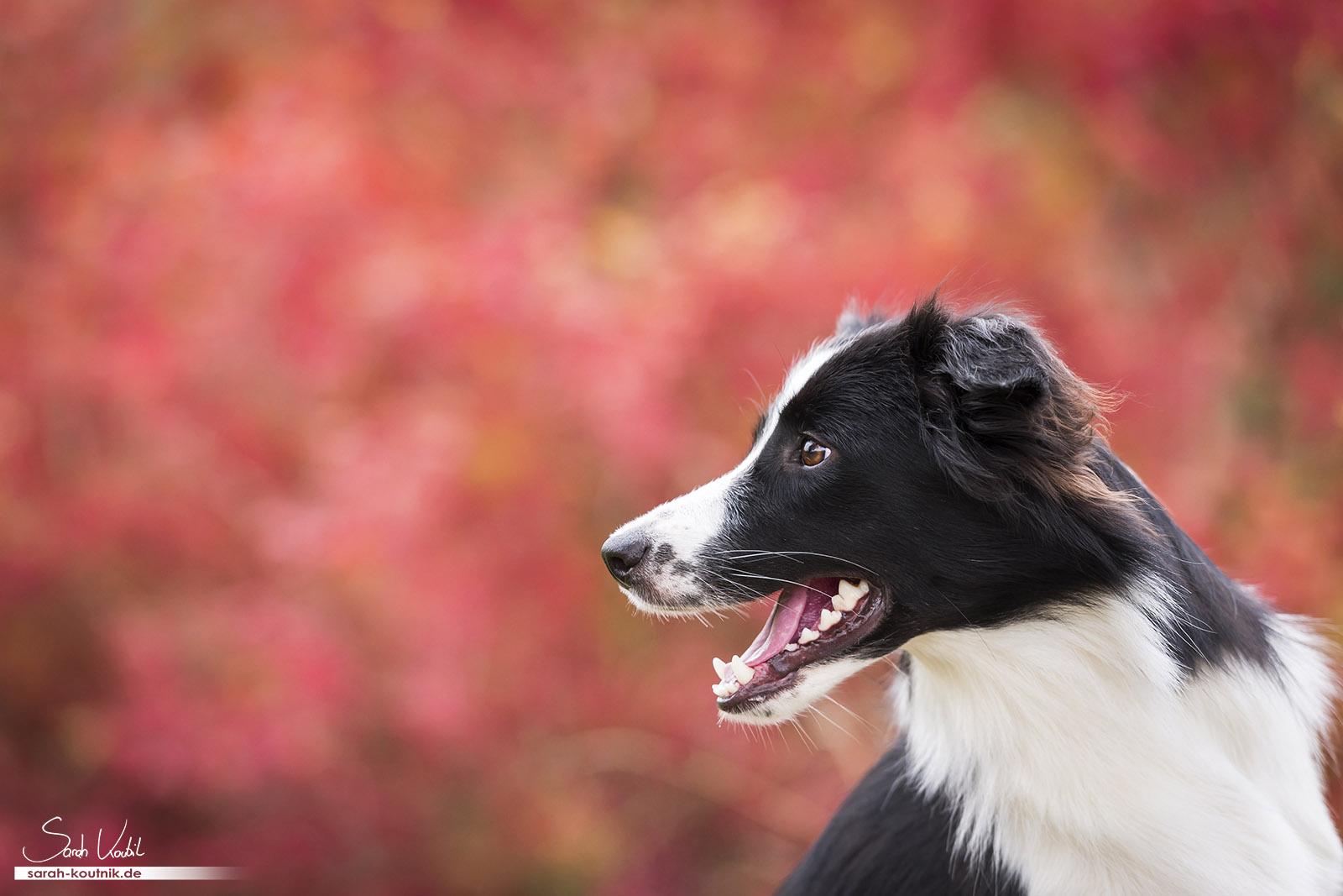 Portfolio Hunde - Border Collie Hündin Fame bei Hundefotoshooting | Hundefotografie München | Sarah Koutnik Fotografie