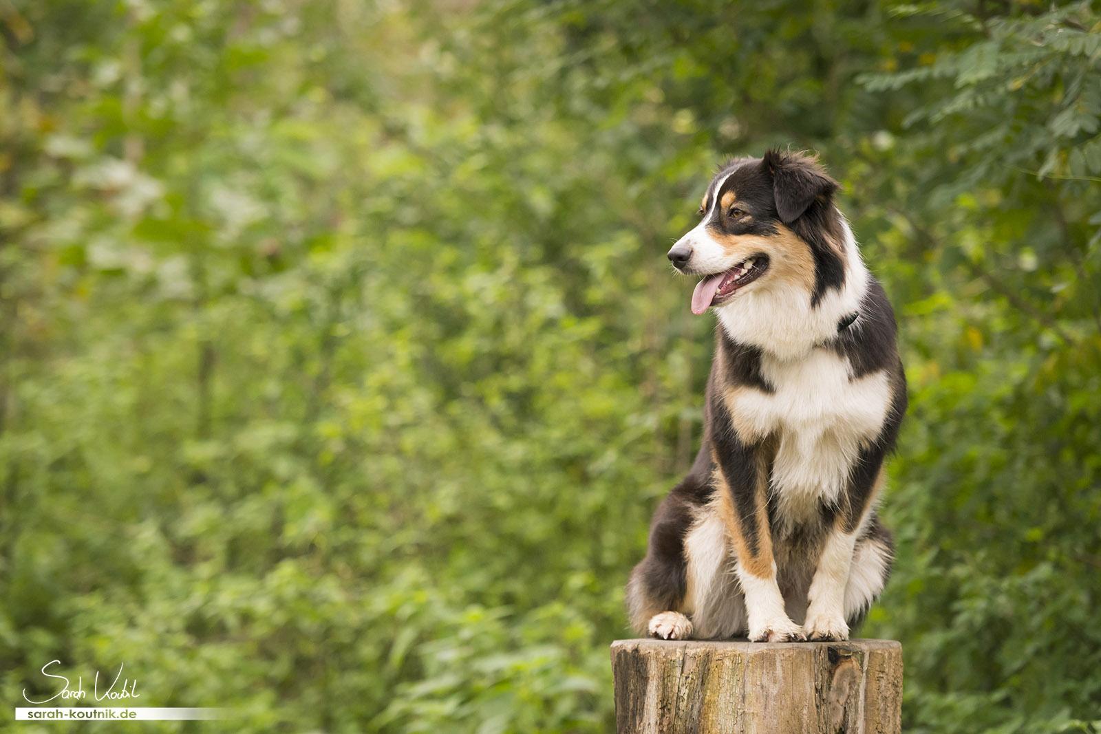 Australian Shepherd Hündin Yoki auf Baumstamm   Sarah Koutnik Fotografie   Hundefotografie München