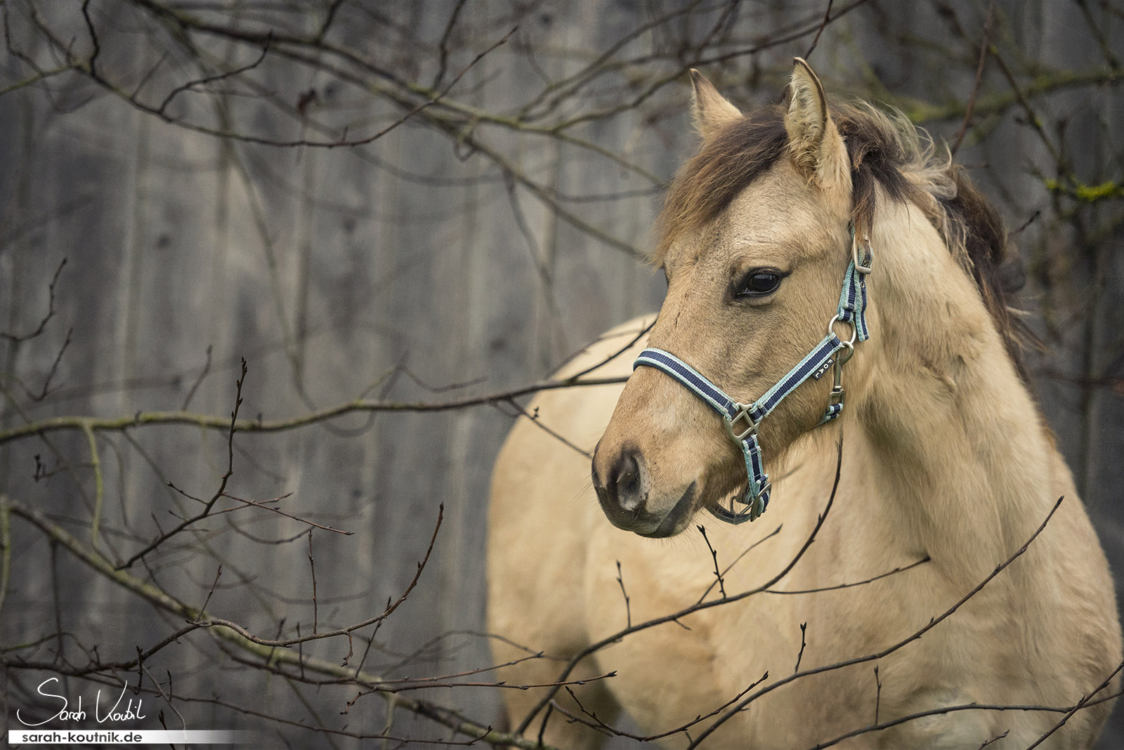 Pferdefotoshooting Quarterhorse Buckskin Fohlen   Pferdefotografie München