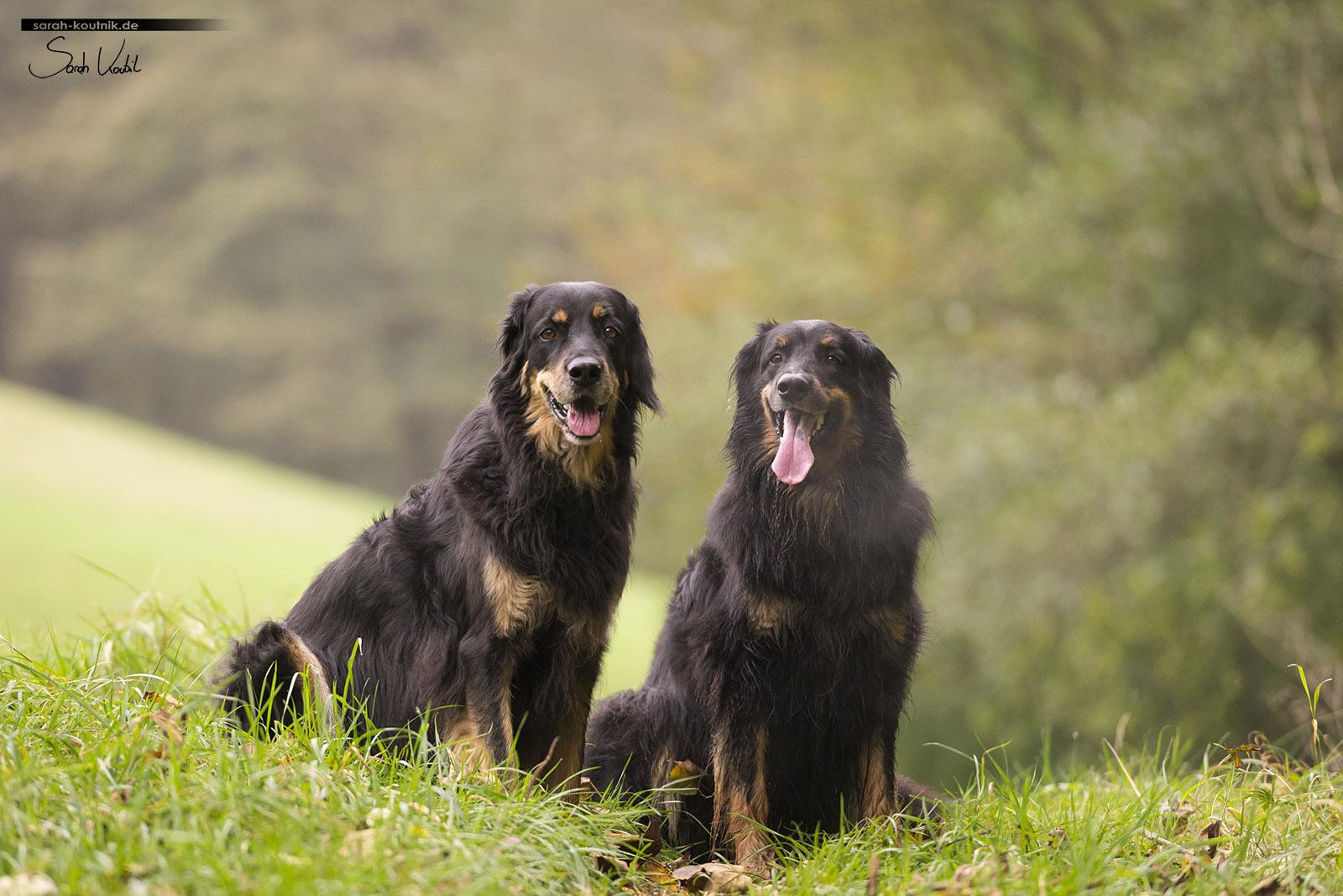 Hovawart Hündinnen beim herbstlichen Hundefotoshooting   Hundefotografie München