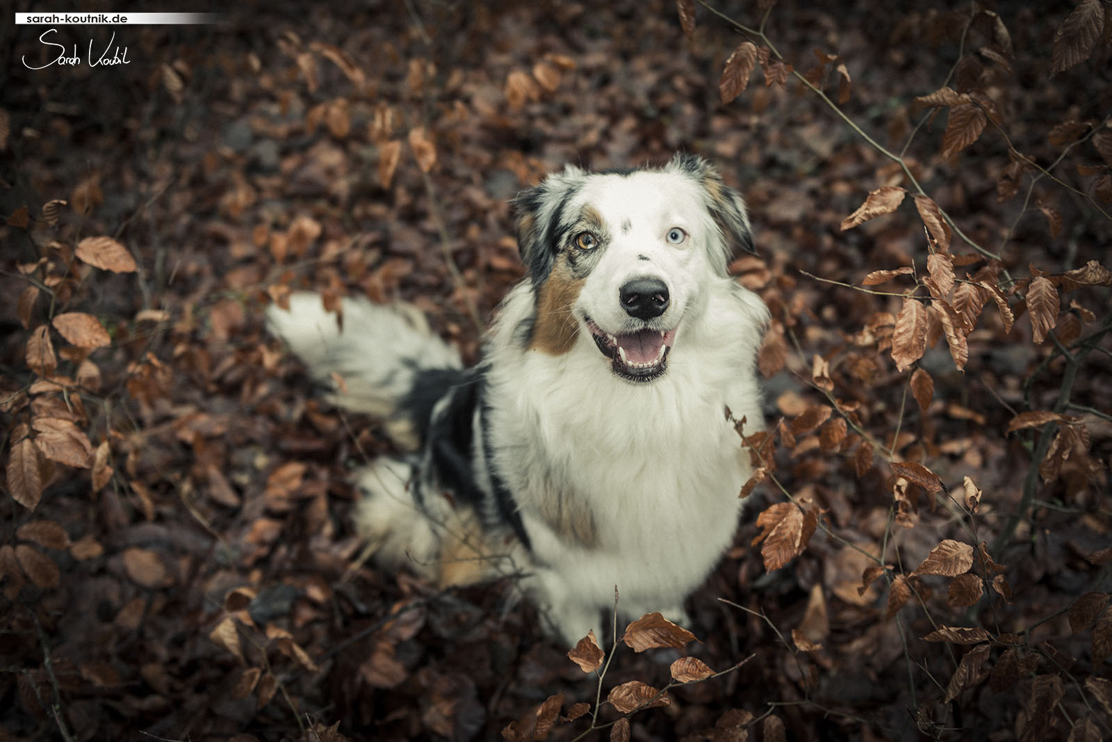 Australian Shepherd Hündin Maya | Hunde Fotoshooting im Herbst | Hundefotografie München