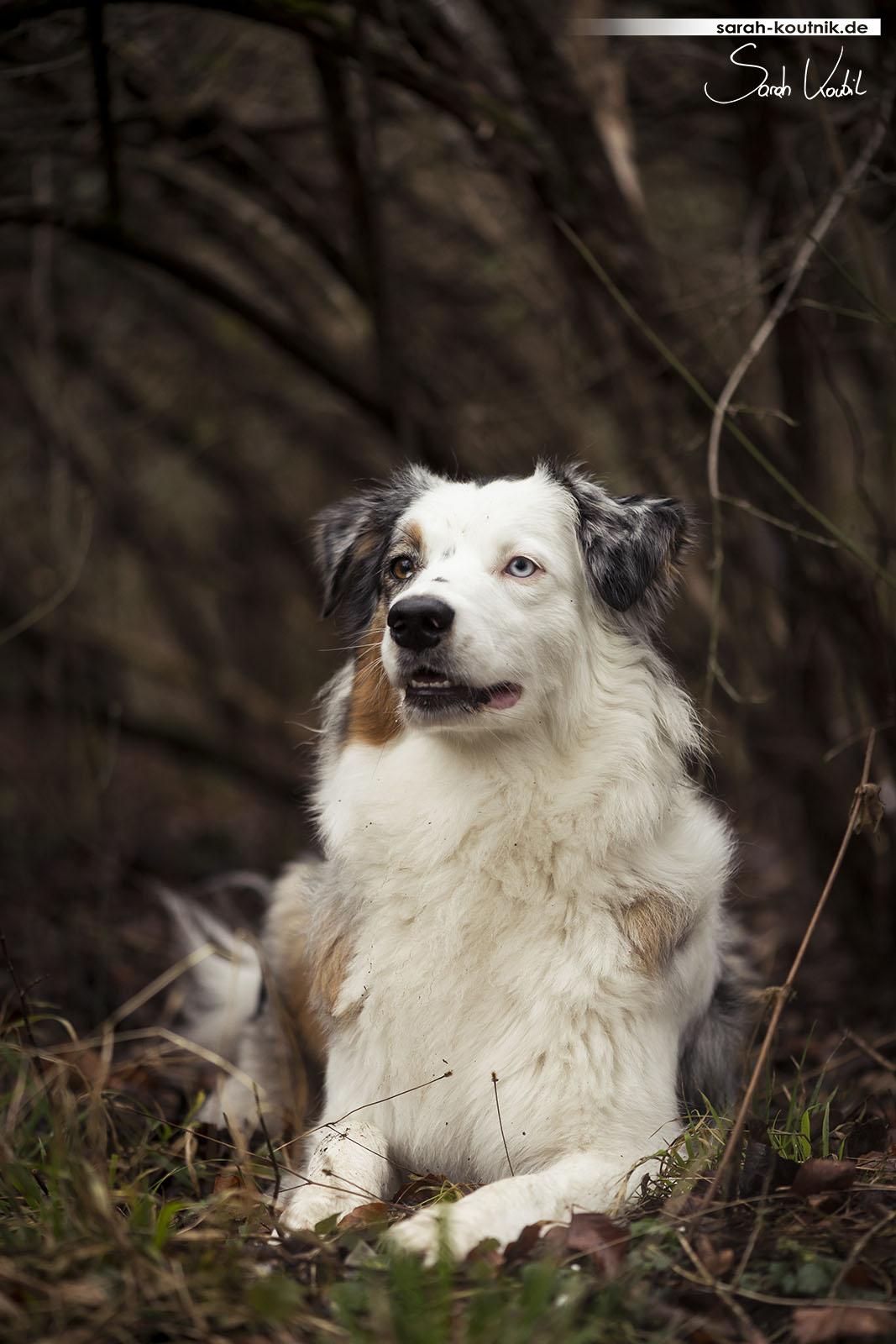 Experimentelles Hunde Fotoshooting mit Australian Shepherd Hündin Maya   Hundefotografie München