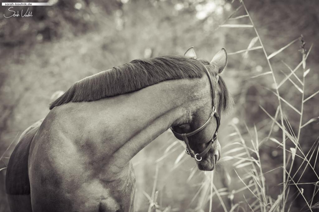 braune Warmblutstute Giulia im Herbst | schwarz weiß | Pferdefotografie München