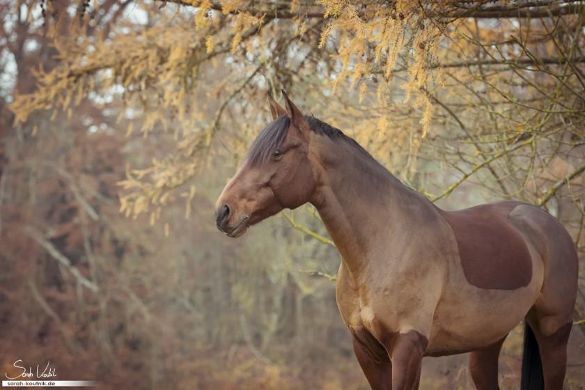 braune Warmblutstute Giulia beim Pferdefotoshooting im Herbst | Pferdefotografie München | Portfolio Pferdefotografie