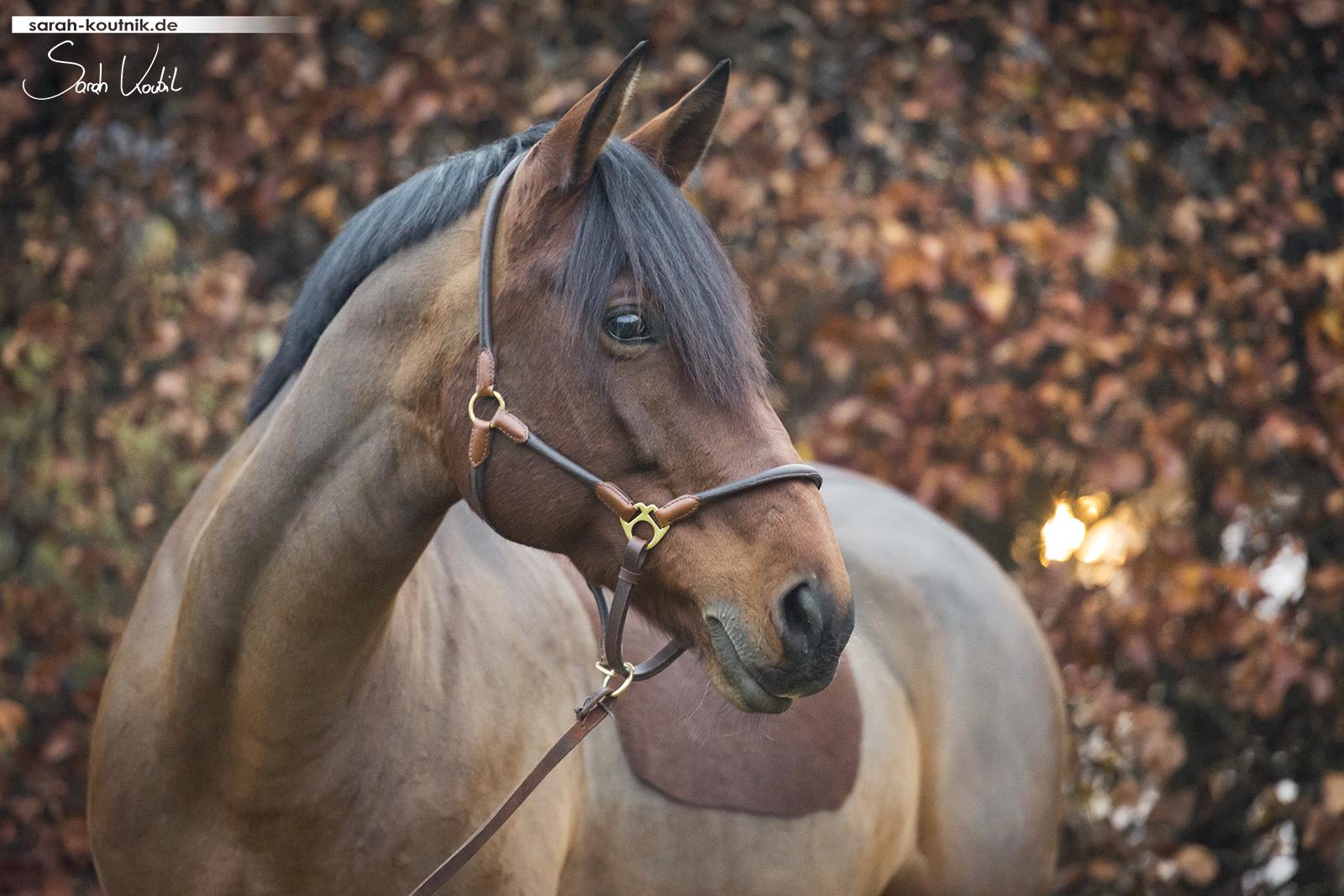 braune Warmblutstute Giulia beim Pferdefotoshooting im Herbst vor Hecke | Pferdefotografie München