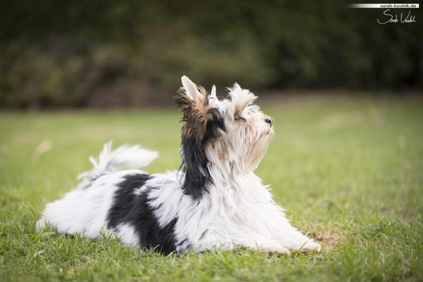 Havaneser Welpe Eila beim Fotoshooting im Frühjahr   Hundefotografie München